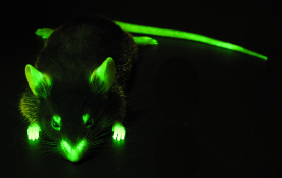A mouse with GFP, photographed when illuminated by a Royal Blue LED in a NIGHTSEA Dual Fluorescent Protein Flashlight